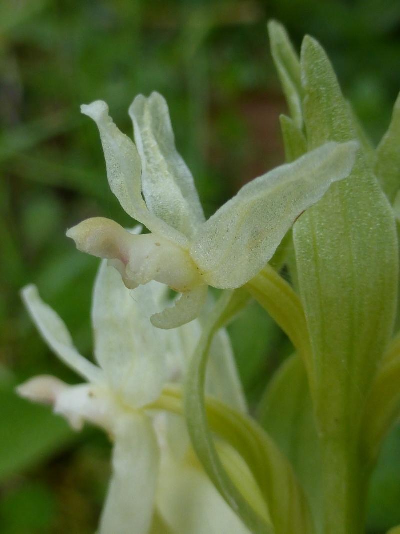 Dactylorhiza sambucina 30010