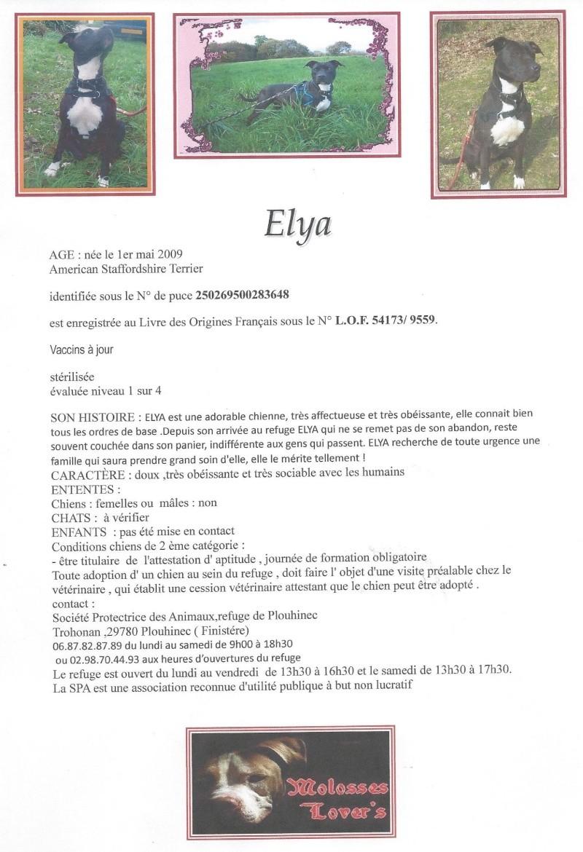 Elya , American Stafforshire Terrier , SPA Bretagne , 29 Scan11