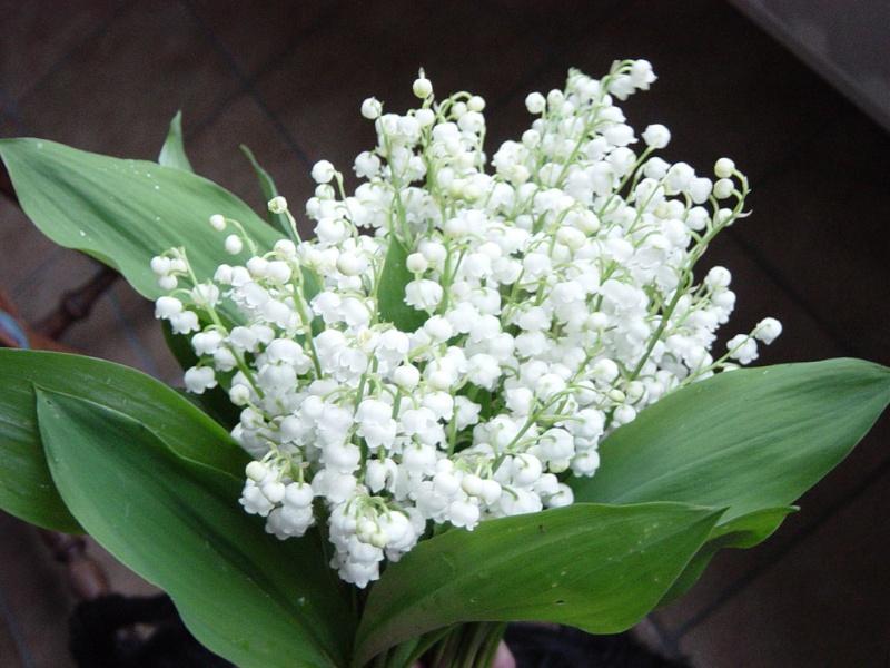 Des bouquets de muguets  21270810