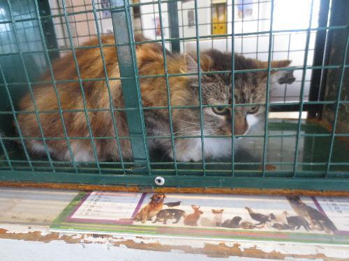 Trouvée chatte marron et blanche poils longs allée du Rouergue à Colomiers Gd006510