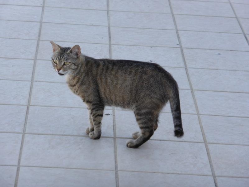 Trouvée jeune chatte tigrée aux Marots à Colomiers P1030415