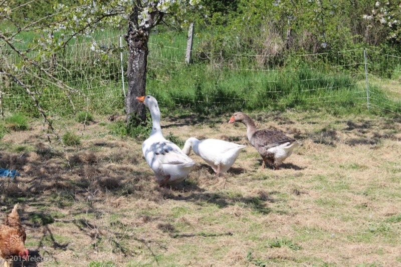 Mon Gaulois Doré et la famille oie Img_7610
