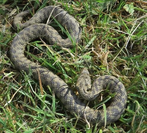 lézards et autres reptiles 138_5010