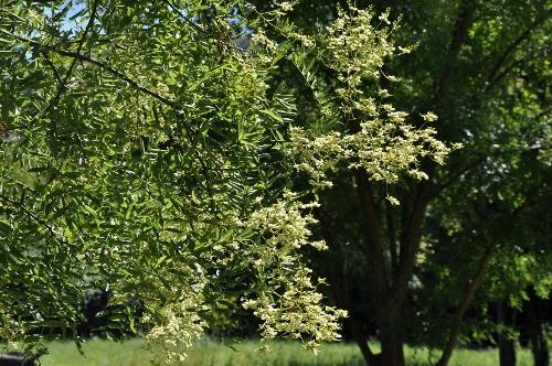 fraxinus - Fraxinus ornus - frêne à fleurs, orne 13_jui10