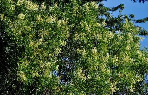 fraxinus - Fraxinus ornus - frêne à fleurs, orne 2_bis_10