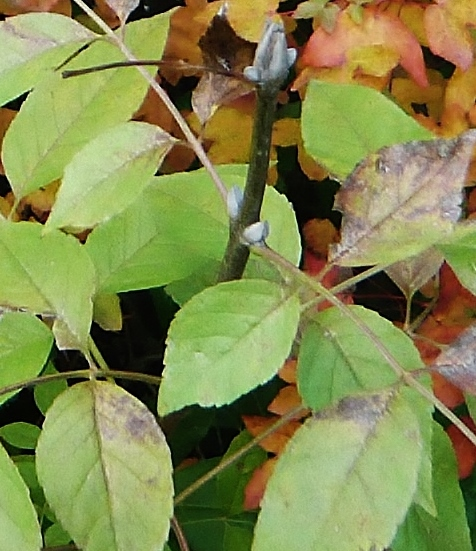 fraxinus - Fraxinus ornus - frêne à fleurs, orne 7novem10