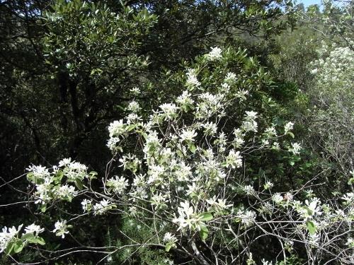 Amelanchier ovalis - amélanchier Amylan10