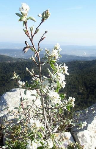 Amelanchier ovalis - amélanchier Amylan11