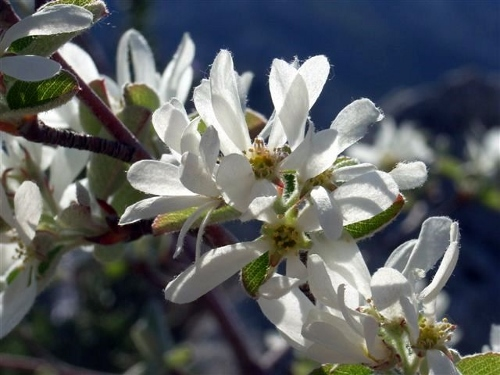 Amelanchier ovalis - amélanchier Amylan12