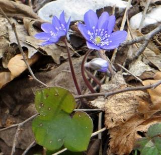 Anemone hepatica (= Hepatica nobilis = Hepatica triloba) - hépatique noble Anymon10