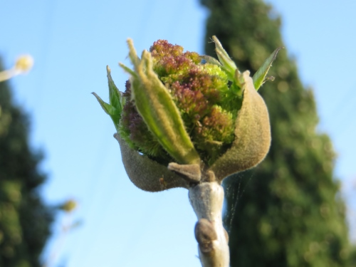 fraxinus - Fraxinus ornus - frêne à fleurs, orne Avril_10