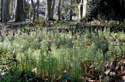 Equisetum arvense - prêle des champs  Avril_18