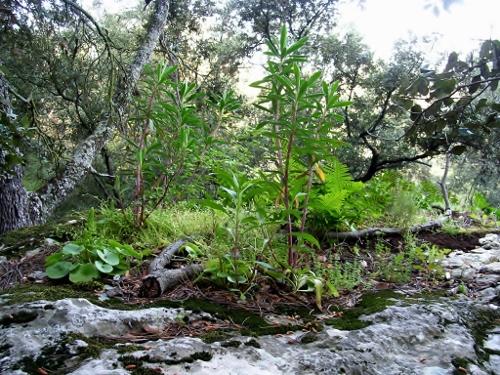 flore des vieux murs, rochers  et rocailles naturelles - Page 6 Chayne10