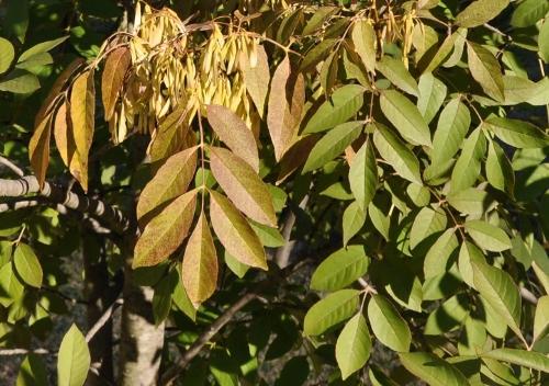 fraxinus - Fraxinus ornus - frêne à fleurs, orne Copy_o11