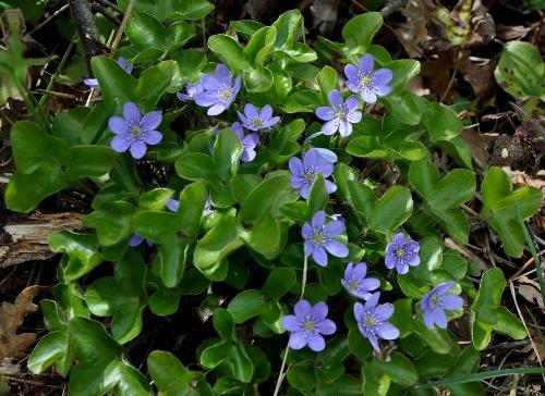 Anemone hepatica (= Hepatica nobilis = Hepatica triloba) - hépatique noble Copy_o14