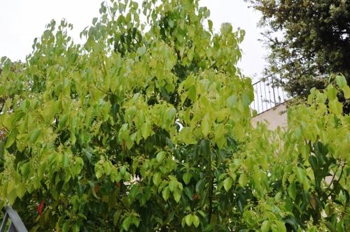 Cinnamomum camphora - camphrier - Page 2 Corse_17