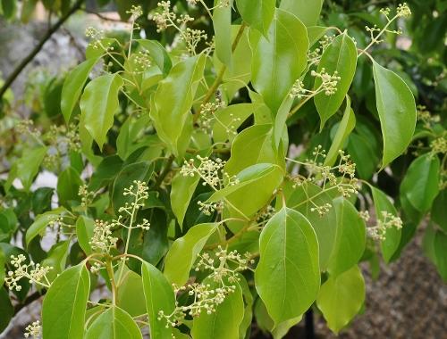 Cinnamomum camphora - camphrier - Page 2 Corse_18