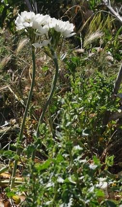 Ornithogalum arabicum (= Melomphis arabica) - ornithogale d'Arabie Corse_51