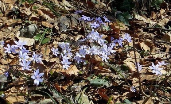 Anemone hepatica (= Hepatica nobilis = Hepatica triloba) - hépatique noble Croati10