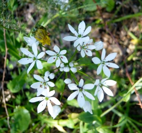 allium neapolitanum - Allium neapolitanum - ail de Naples Flore_10