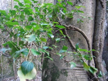 fraxinus - Fraxinus ornus - frêne à fleurs, orne Fyvrie10