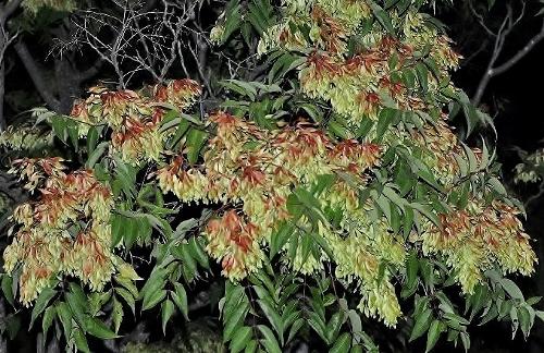 fraxinus - Fraxinus ornus - frêne à fleurs, orne Juille10