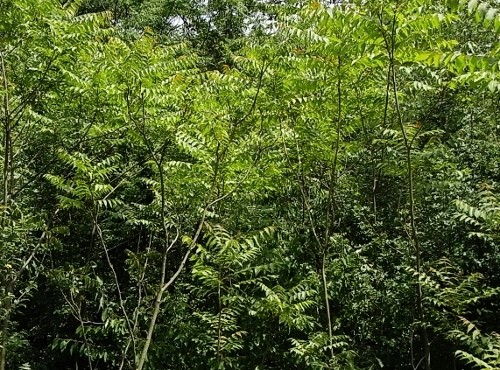 Ailanthus altissima - ailante glanduleux - Page 2 Juin_212