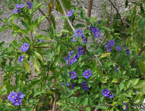 le joli mois de mai des fous jardiniers - Page 7 La_cio13