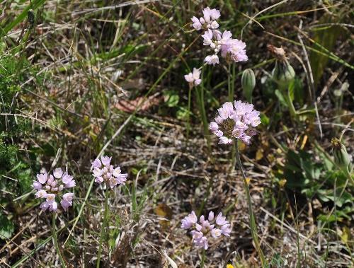 Allium roseum - ail rose Mai_2015