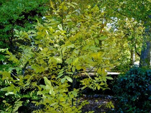 fraxinus - Fraxinus ornus - frêne à fleurs, orne Octobr10