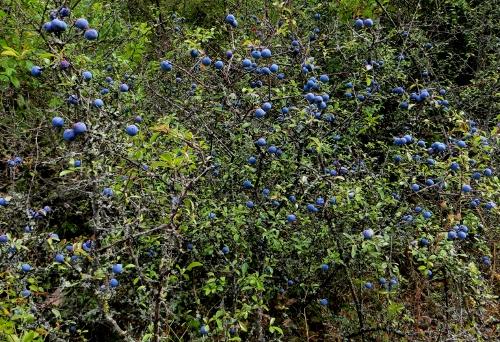 Prunus spinosa - prunellier, épine noire Prunel10