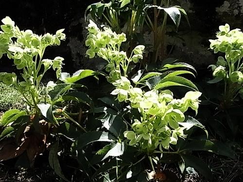Helleborus - Helleborus argutifolius - hellébore de Corse Rimg0412