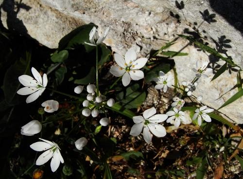 allium neapolitanum - Allium neapolitanum - ail de Naples Rimg0610