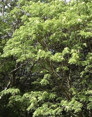 fraxinus - Fraxinus ornus - frêne à fleurs, orne Rimg3010