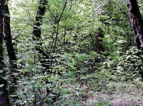 fraxinus - Fraxinus ornus - frêne à fleurs, orne Rimg3012