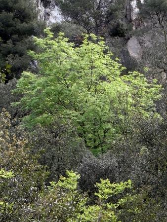 fraxinus - Fraxinus ornus - frêne à fleurs, orne Rimg3013