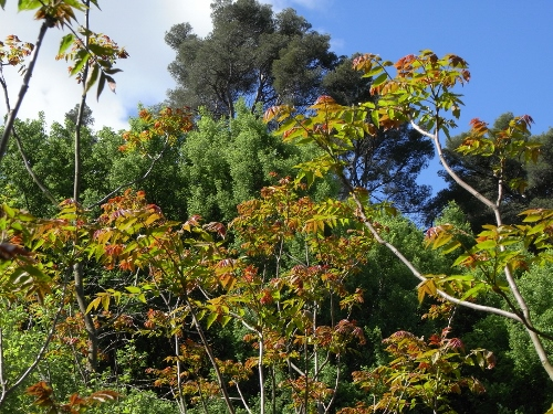Ailanthus altissima - ailante glanduleux - Page 2 Rimg3014