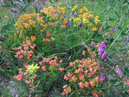 Euphorbia cyparissias [identification] Rimg5311