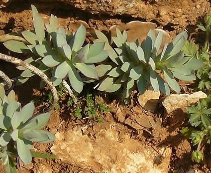 Euphorbia characias ou E. nicaensis ? [id. non terminée] Siou_b12