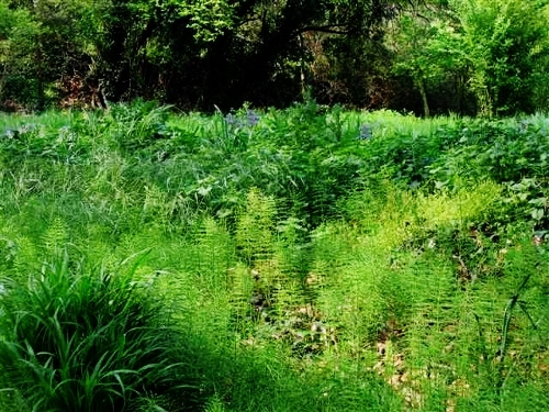 Equisetum arvense - prêle des champs  Verger11