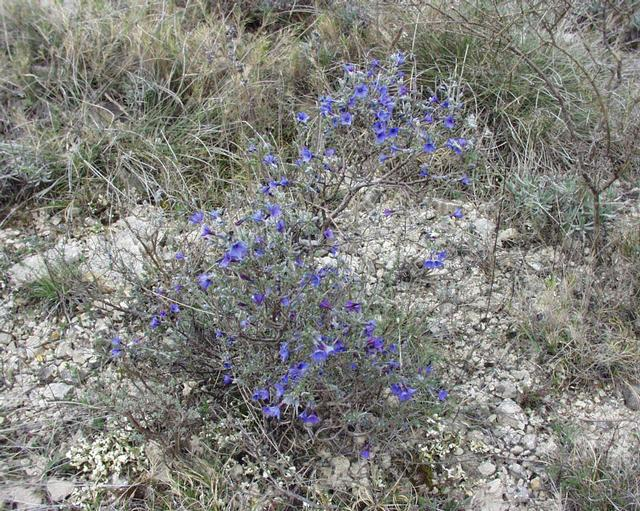 Lithodora fruticosa - grémil ligneux Lithos10