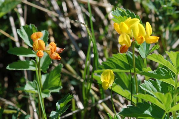 Lotus corniculatus - lotier corniculé Ob_edb10