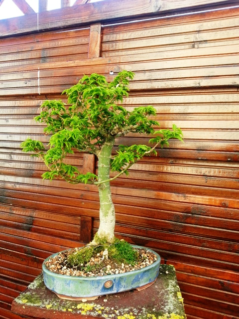 plant acer shishigashira pour formation en bonsai - Page 5 2015-013
