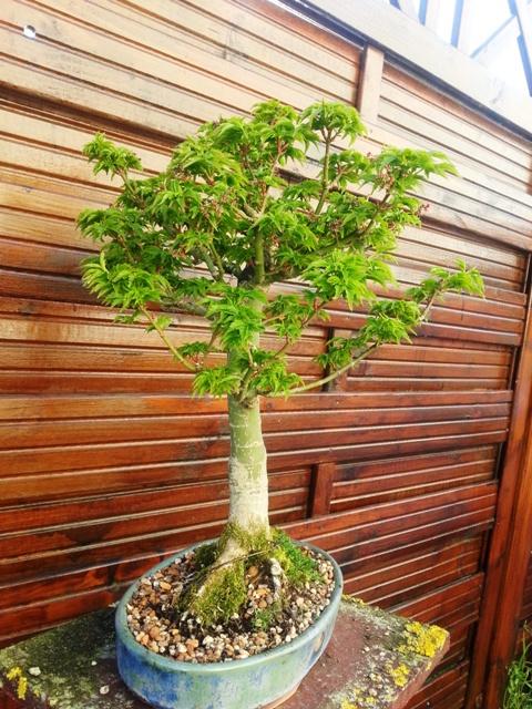 plant acer shishigashira pour formation en bonsai - Page 5 2015-014