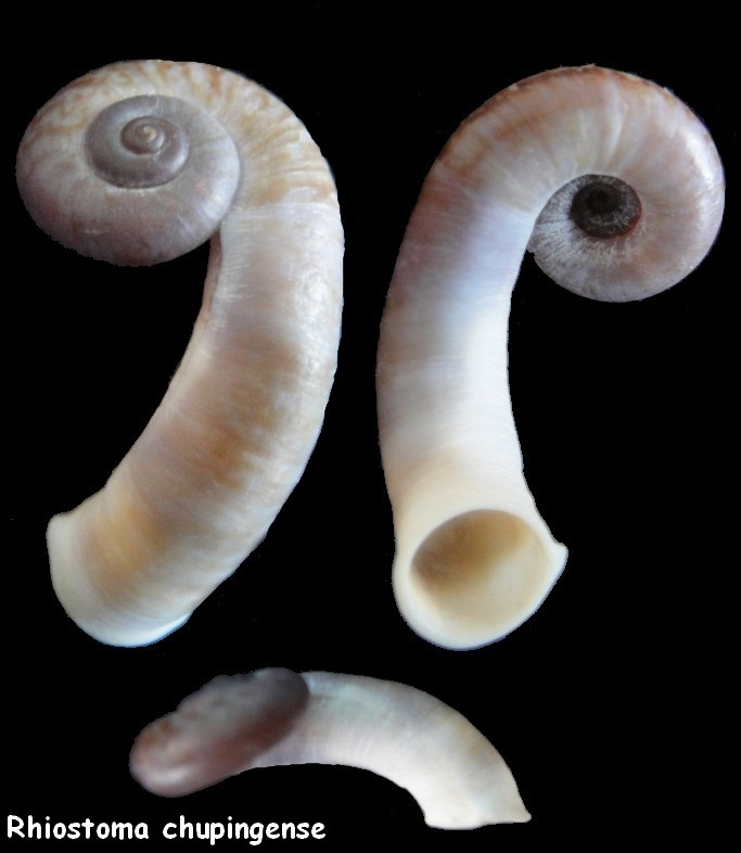 Rhiostoma chupingense  (Tomlin, 1938) Rhiost10