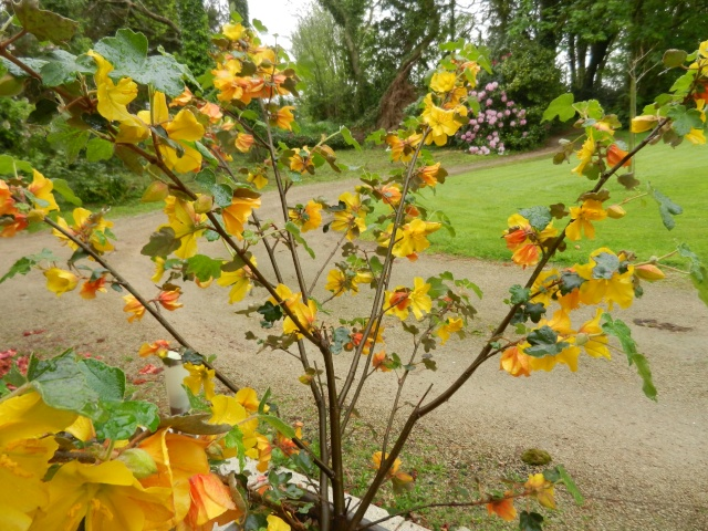 Fremontodendron californicum Fremon10