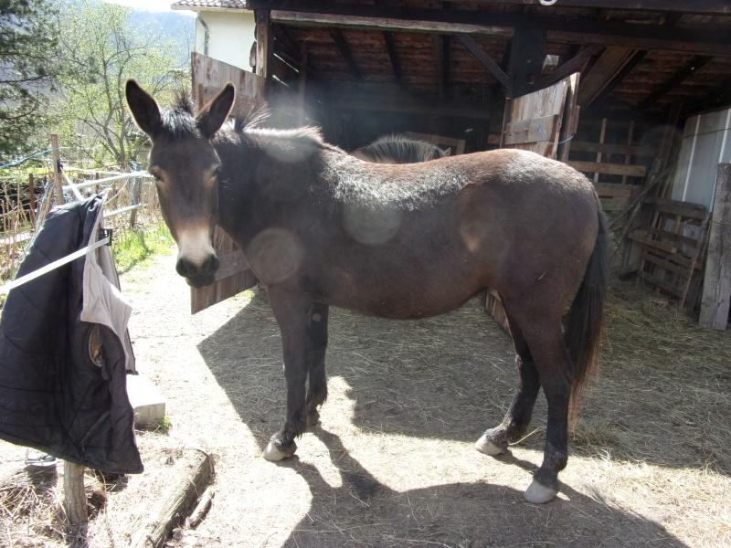 VIOLETTE dite PETALE - ONC Mule née en 2006 - adoptée en octobre 2012 par Jean 2015_410
