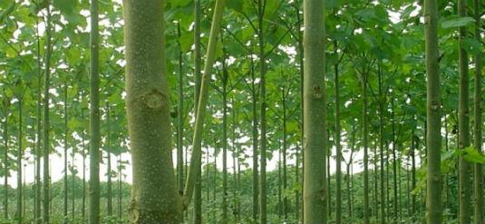 Paulovnija - najbrže rastuće drvo 110