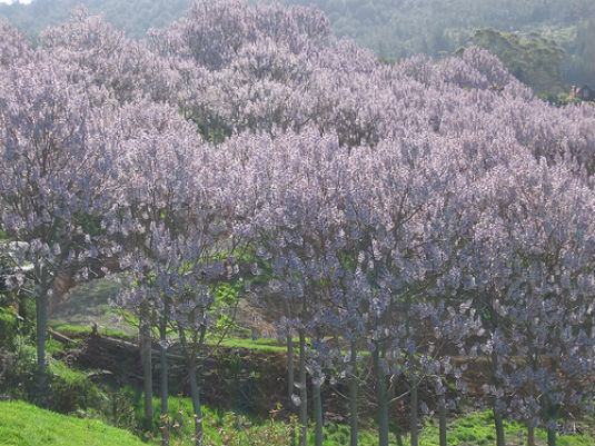 Paulovnija - najbrže rastuće drvo 310