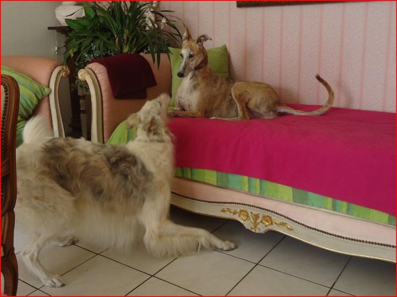 Notre beau et gentil duque de nouveau à l'adoption Adopté  - Page 3 Duque415